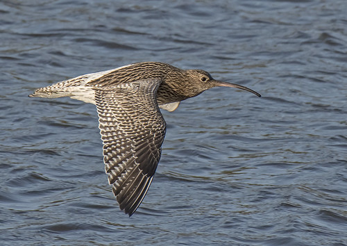 _DSC6766.....CURLEW