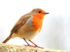Guarding his territory! (macfudge1UK) Tags: nature 2016 avian bird britishbird britishbirds england fauna gb greatbritain oxfordshire oxon rspbgreenstatus uk wildlife winter ©allrightsreserved bbcspringwatch nikon coolpix coolpixp610 p610 nikoncoolpixp610 britain erithacusrubecula robin wall