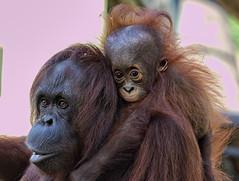 New Haircut (explore 1/4/17) (Darts5) Tags: orangutan orangutans primate primates lowryparkzoo lowrypark lowryzoo upclose closeup canon7d2 canon7dmarkll canon7dmarkii canon 7d2 7dmarkll 7dmarkii 7d2canon ef100400mmlll