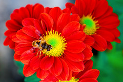 Hoverfly on Red Chrysanthemum : 菊にハナアブ (Dakiny) Tags: 2016 winter december japan kanagawa yokohama aoba ichigao outdoor nature field plant flower blossom chrysanthemum chrysanthemummorifolium chrysanthemum×morifoliumramat floristsdaisy red animal insect bug fly hoverfly flowerfly yellow macro bokeh nikond7000 nikkor 50mm f18 afsnikkor50mmf18g nikonafsnikkor50mmf18g nikonclubit
