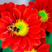 Hoverfly+on+Red+Chrysanthemum+%3A+%E8%8F%8A%E3%81%AB%E3%83%8F%E3%83%8A%E3%82%A2%E3%83%96