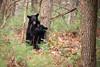 Playtime (Longleaf.Photography) Tags: bear cub blackbear cubs play woods cadescove gsmnp bears wildlife tn townsend gatlinburg smokies