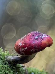 _B300286 (HelmiGloor) Tags: amanitamuscaria fliegenpilz pilz pilze meyergörlitz28100mmtrioplan trioplan giftpilz olympusem1