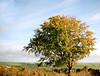 Autumn Tree in Shrule, Co. Wexford, Ireland - Explored 26/12/2016 (murtphillips) Tags: tree raheen wexford farmland blue green