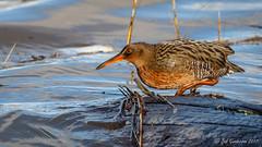 Ridgway's Rail (Bob Gunderson) Tags: alamedacounty arrowheadmarsh birds california eastbay northerncalifornia rails ralluslongirostris ridgwaysrail rail bird