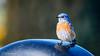 Western Bluebird (m) (Bob Gunderson) Tags: birds bluebirds california cypresslawn northerncalifornia peninsula sanmateocounty sialiamexicana thrushes westernbluebird