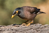 Miná Común (ik_kil) Tags: minácomún commonmyna myna acridotherestristis keoladeonationalpark rajasthán keoladeo birdsofindia birds india