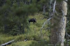 "Calf Moose along Glen Creek • <a style=""font-size:0.8em;"" href=""http://www.flickr.com/photos/63501323@N07/31975501726/"" target=""_blank"">View on Flickr</a>"