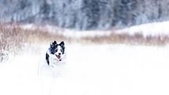 A snowy New Year's day in Calgary (cmanders) Tags: alberta bowriver calgary canada edworthypark maggie newyearsday2017 snow bordercollie lowlight