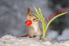 I love you (Geert Weggen) Tags: red nature animal squirrel rodent mammal cute top look closeup stand funny bright valentine love feeling heart stone happyvalentinesday holiday tender iloveyou geert weggen ragunda bispgården hardeko