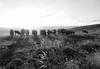 Troupeau au sommet (ValKtl) Tags: salève france genève troupeau vache noiretblanc