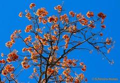 Flowering Ahuejote, Mulungu, A detail, San Salvador (ssspnnn) Tags: mulungu erythrina fabaceae arbol arvore floweringtrees flores spnunes snunes nunes spereiranunes canoneos70d sansalvador elsalvador erythrinaverna erythrinamulungu