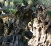 Fantasía de troncos de olivo. Olive tree trunks fantasy. (Esetoscano) Tags: troncos trunks ramas branches árboles trees texturas textures fantasia fantasy sombras shadows sol sun inspiraciónabstracta abstractinspiration formas shapes rostros faces
