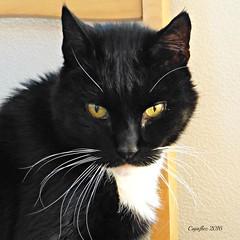 Cortez (Cajaflez) Tags: kat kater tuxedo katze chat gatto portrait portret cortez 1612yearsold coth5 platinumheartaward