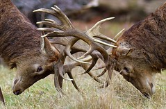 face off (stevef.stop) Tags: animals animal behaviour british deer mammals nature nikon red richmond park rut stag uk wildlife gold