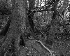 Connected Trees (Stanley Burn Woods) (Jonathan Carr) Tags: tree trees abstraction abstract rural northeast bw black white monochrome toyo45a large format 4x5 5x4