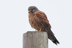 DSC_6673 (mylesm00re) Tags: africa falcorupicolis kransvalk rockkestrel sanparks southafrica westcoastnationalpark westerncape bird