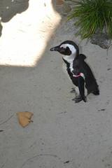 Penguin 15/12/2016 - 1 (s.kosoris) Tags: skosoris nikond3100 d3100 nikon tampa tampazoo animal bird penguin