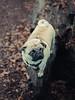 aww (Not_Fade_Away) Tags: dog pug