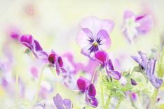IMG_1160 Violet violas from paradise (Rodolfo Frino) Tags: art artistic digital difitalart flower flowers violet viola violas flora flor flores nature natur naturaleza blur dof purple