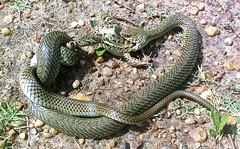 Hora del almuerzo... (valentinasinner) Tags: snake serpiente culebra fauna entrerios argentina muerte animales campo food comida víbora