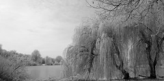 Eiskalt (AstridSusann) Tags: trauerweide bäume see schnee frost nebel kalt twist emsland januar sw bw 2017