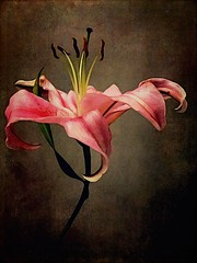 // heart beats // (allyson.marie) Tags: iphone mobile delicate pistol nature pink petal flower macromonday