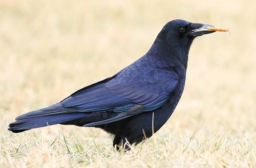 American crow in Decorah IA 854A6479