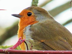 Robin Portrait (seanwalsh4) Tags: 7dwf wednesdaysthememacrocloseup robinredbreast male red bird nature macro closeup canon portrait