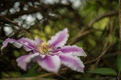 20150524-0014.jpg (medbiker1965) Tags: vienna wien natur lila grn blte frhling markro kahlenberg zeissmakroplanar5020