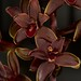 Cymbidium Little Black Sambo – Jerry Spencer