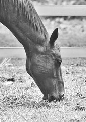Horse in Black (ramkumar999) Tags: horse white black nikon nikkor ai f35 400mm d600