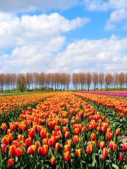 The orange row (Hans & Liek) Tags: holland spring nederland thenetherlands lente noordholland tulpen bollenvelden