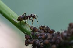 fourmi au travail 2.jpg (Sylvain Bédard) Tags: nature ant insects aphid fourmi puceron commensalism commensalisme