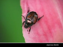 Japanese Beetle 2015 (gtncats) Tags: nature insect outside outdoors beetle pest grubs japanesebeetle potofgold naturespotofgold ef100mmmacrolens canon70d photographyforrecreation frameitlevel01 infinitexposure
