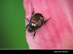 Japanese Beetle 2015 (gtncats) Tags: nature insect outside outdoors beetle pest grubs japanesebeetle potofgold naturespotofgold ef100mmmacrolens canon70d photographyforrecreation frameitlevel01 infinitexposure