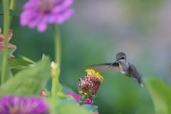 hummingbird flying (-SOLO--) Tags: zinnia hummingbird flying flickrfriday