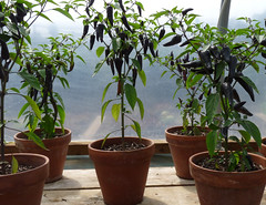 July 18th, 2015 Purple chillies, Lower Lovets Farm (karenblakeman) Tags: uk food vegetables reading purple july berkshire chillies knowlhill 2015 organickitchengarden readingfoodgrowingnetwork rfgn 2015pad lowerlovettsfarm
