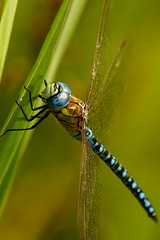 DSC02473 - Southern Migrant Hawker (steve R J) Tags: park dragonfly country tyler explore southern british wat essex hawker migrant odonata