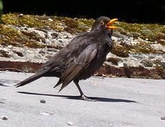 Singing Blackbird (Mary (No Multiple Invites Please)) Tags: singing outdoor blackbird outdoorgarden