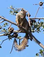 Hey Rocki, I'm up here girl! (Rocki Adams) Tags: blue summer arizona sky tree cute nature animal canon grey squirrel branch sweet outdoor wildlife gray adorable august powershot prescott 2015 willowlake sx50