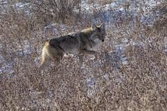 16220657 (geelog) Tags: alberta calgary fishcreekpark sikomelake olympusem1markii olympusm300mmf40 coyote winter
