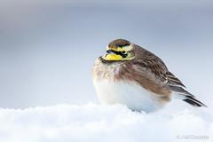 sans titre.jpg (Jean-Marc Cossette) Tags: fluffy cold alouettehaussecol hornedlark nature snow