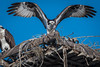 Osprey Stretching Before He Takes Off (halladaybill) Tags: backbaysciencecenter osprey newportbeach california unitedstates us wingstretch nikond500 nikkor80400zoomlens nikondslr raptor seahawk nest