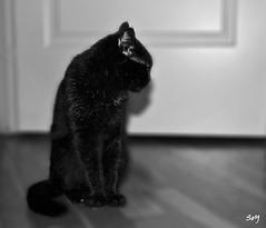 """No quiero más fotos, me roban mi alma!"" (svet.llum) Tags: gato gat gata animal musia bn retrato"