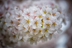 Blossom (Pat Charles) Tags: copenhagen denmark danemark europe travel tourism flower flora floral flowers cherryblossom blossom pink macro closeup upclose bokeh depthoffield nikon 1001nights 1001nightsmagiccity