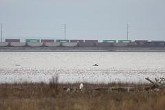 Snowy Owls (Terrance Carr) Tags: 201201 brunswick ferry dncb port terry carr 20120109 2012 january terrycarr