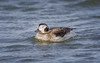 Long-tailed Duck (wn_j) Tags: birds birding barnegat ducks wildlife wildanimals wildlifephotography waterfowl nature naturephotography longtailedduck
