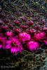 Floral Cactus (JKmedia) Tags: floral cacti cactus spike prick prickles sharp ouch spain flower flora plant boultonphotography 2016 texture pattern