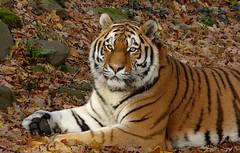 Siberian tiger (joeke pieters) Tags: 1310375 panasonicdmcfz150 siberischetijger pantheratigrisaltaica siberiantiger amurtijger amurtiger sibirischetiger tigredesibérie ouwehandsdierenpark rhenen gelderland nederland netherlands holland